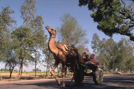 Camel Pulled Cart