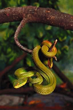 Palm Viper or Green Tree Viper
