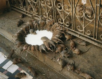 At the Temple of Rat, Bikaner