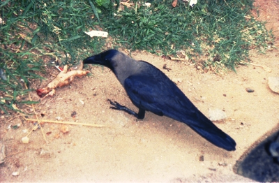 Indian Crows