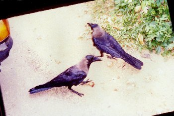 Scavenging Crows