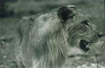 Lions of India