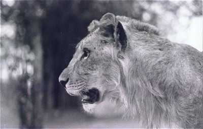 Lion of Bannerghatta National Park