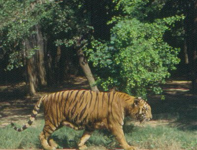 Tiger at Patna Zoo Patna Zoo. Bihar. V.N. O'key.