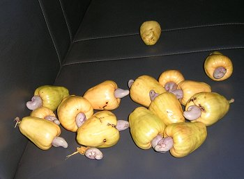 Cashews with their Nuts Intact