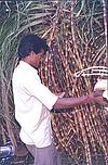Sugar-cane Vendor
