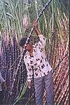 Pruning of a Sugar-cane