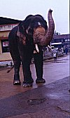 A Temple Elephant in Udupi
