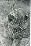 Lion contemplating in cage