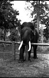 A tusker under training