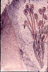 Plant fossils of a rare type