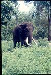 Lone tusker on way for lunch, 1980