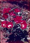 A small red flowers in Syracuse garden, 1963