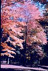 A tree in Autumn glory, 1964