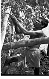 Tying rope to a tree, Honnawar, 1982