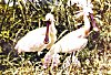 SpoonBill Couple