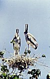 Two Young Painted Storks in their Nest