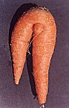 Curvaceous Carrot