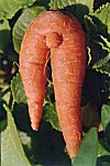 The Horny Carrot
