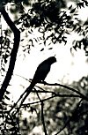 Parrot Eating Fruits on a Neem Tree