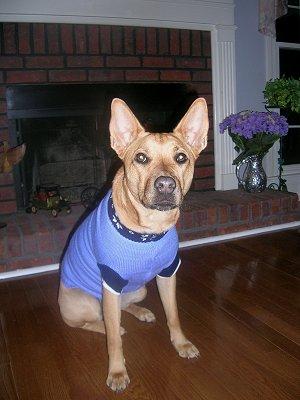 TinTin in Dog Sweater